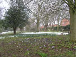 Crocuses growing along vista to the NE of Woodvale